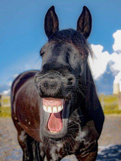 Flirt-Witze. Foto eines lachenden Pferdes.